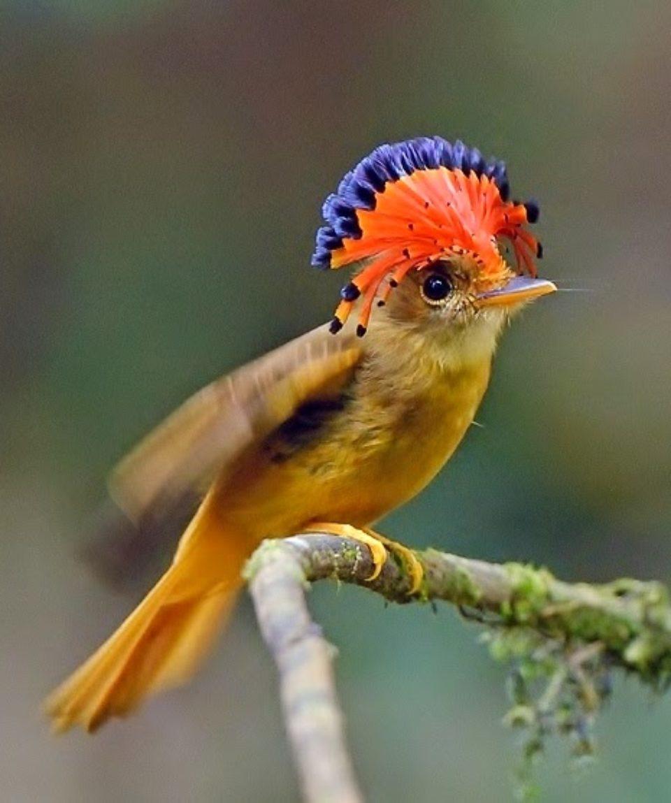 Amazonian royal flycatcher Onychorhynchus coronatus